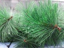 Galho artificial da árvore de abeto com gotas de orvalho Fotografia de Stock Royalty Free