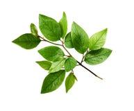 Galho com as folhas do verde da mola imagens de stock royalty free