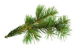 Galho da árvore de Natal imagem de stock royalty free