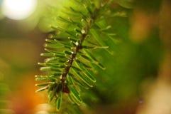 Galho da árvore de Natal Fotografia macro do galho verde Fundo claro do bokeh Fotografia de Stock