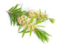 Galho da árvore do chá de Melaleuca com flores Isolado no backgr branco fotografia de stock