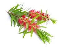 Galho da árvore do chá de Melaleuca com flores Isolado no backgr branco fotos de stock royalty free
