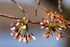 Galho da cereja com flores em botão Fotografia de Stock Royalty Free