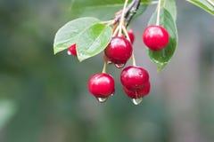 Galho da cereja com gotas da chuva Imagens de Stock