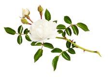 Galho da flor, dos botões e das folhas cor-de-rosa do jardim imagem de stock