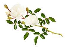 Galho da flor, dos botões e das folhas cor-de-rosa do jardim fotos de stock royalty free
