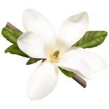 Flor da magnólia Imagem de Stock Royalty Free