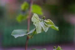 Galho da uva na mola Fotografia de Stock
