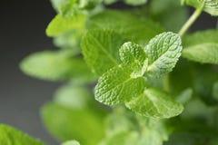 Galho das folhas de hortelã Imagens de Stock