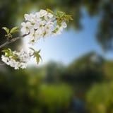 Galho de florescência da cereja Imagem de Stock