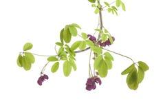 Galho de florescer Akebia Fotografia de Stock