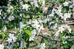 Galho de florescência da cereja, filtro da foto Foto de Stock Royalty Free
