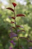 Galho delgado bonito de um arbusto pequeno com obscuridade - o vermelho sae dentro imagens de stock royalty free