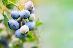 Galho do mirtilo Conceito de colheita e de jardinagem Composição w fotografia de stock