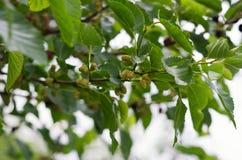 Galho do Mulberry Fotografia de Stock Royalty Free