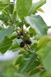 Galho do Mulberry Foto de Stock