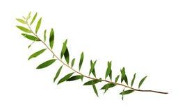 Galho do spiraea com folhas verdes fotografia de stock royalty free