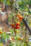 Galho dos tomates de cereja Fotos de Stock