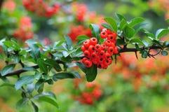 Galho espinhoso de um firethorn com frutos vermelhos Imagens de Stock Royalty Free