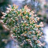 Galho luxúria da murta com um laço das agulhas e das flores Imagem de Stock
