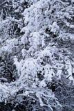 Galho na neve do inverno no frio extremo Fotos de Stock Royalty Free