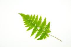 Galho verde da samambaia Foto de Stock Royalty Free