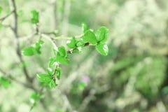 Galho verde de uma árvore nova Imagens de Stock Royalty Free