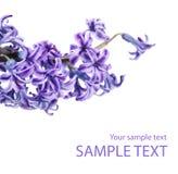Galho violeta da flor do lilac Foto de Stock Royalty Free