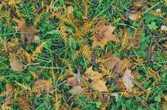 Galhos amarelos caídos outono do larício Fotografia de Stock Royalty Free