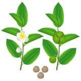 Galhos de uma planta de chá verde com flores, frutos e sementes ilustração do vetor
