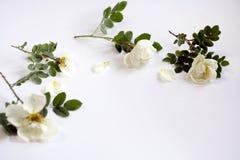 Galhos de uma rosa do branco do chá com folhas verdes Fotos de Stock