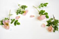 Galhos de uma rosa do branco do chá com folhas verdes, Imagens de Stock Royalty Free