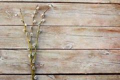 Galhos do salgueiro de bichano na tabela de madeira Foto de Stock