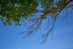 Galhos, folha e céu azul Fotografia de Stock Royalty Free