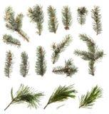 Galhos Spruce azuis isolados imagem de stock