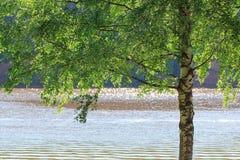 Galhos verdes bonitos de um vidoeiro em um fundo de um rio de brilho Fotografia de Stock Royalty Free