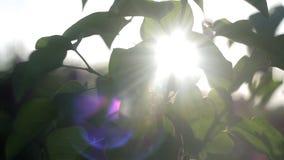 Galhos verdes no jardim no por do sol em uma noite morna do verão nave vídeos de arquivo
