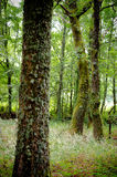 Galicia Forest Royalty Free Stock Photography