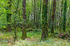 Galicia Forest Stock Photography