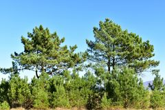 Landscape with pine trees. Sunny day, blue sky. Galicia, Spain. stock images