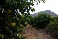 Galilee Orange Groves Stock Photo