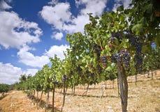 galilee vingårdar Arkivfoton