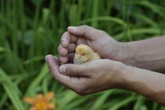 Galinha à disposicão Os pintainhos recém-nascidos pequenos nas mãos do homem Fotos de Stock