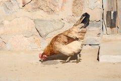 A galinha Imagem de Stock Royalty Free