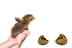 galinha Imagens de Stock