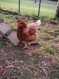 galinha Foto de Stock Royalty Free