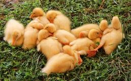 galinha Fotografia de Stock