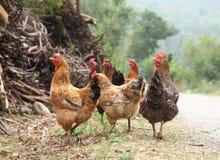 galinha Imagens de Stock Royalty Free