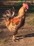 galinha Foto de Stock