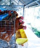 galinha imagem de stock royalty free